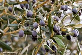Olive Trees BiblePlacescomWild Olive Tree Fruit