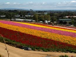 2018 carlsbad flower fields opening soon