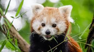 cute red panda adorable wallpaper
