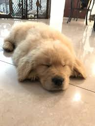 golden retriever puppies sleeping. Interesting Puppies Golden Retriever Puppy Sleeping Wheres_bash Goldenretriever On Retriever Puppies Sleeping N