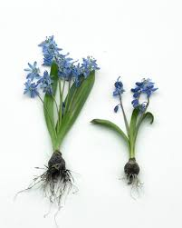 All About Scilla