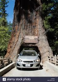 leggett california chandelier tree in drive thru tree park a