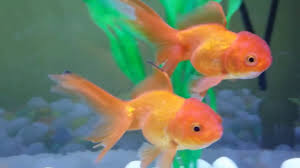 Goldfish Tank Mates What Are The Other Fish You Can Put With Your Goldfish Introduction