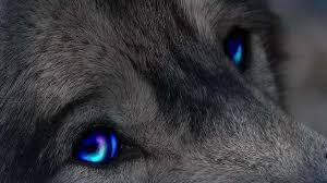 blue e wolf dogs s eyes