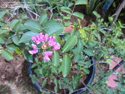 plant identification closed round circle pink flowers what is the name of this plant 1 by euphorbia4
