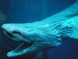 frilled shark numazu the frill shark also known as a frilled shark