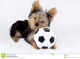 yorkshire terrier puppy with toy soccer ball