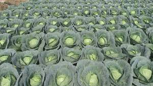 cabbage plant stages. Exellent Cabbage Cabbage Plant Growth Stages  Google Search Cabbage Plant Plant Growth With Stages G