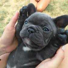 cute blue french bulldog puppies. Gus The French Bulldog Puppy Therealfrenchiegus On Instagram Intended Cute Blue Puppies