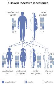 X Chromosome Inheritance Chart X Linked Recessive Inheritance Wikipedia