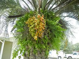 The Incredible Edible Pindo Palm  The Survival GardenerPalm Tree Orange Fruit