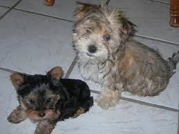 buster and ernie the yorkie and morkie previously for