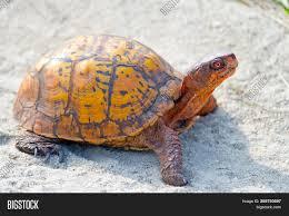 Box Turtle Walking Image Photo Free Trial Bigstock