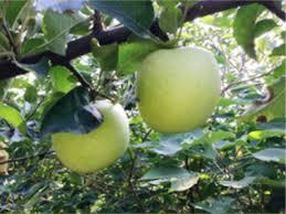 green apple fruit tree. \ green apple fruit tree