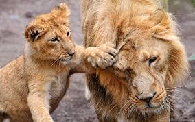 care family lion lion cub lioness