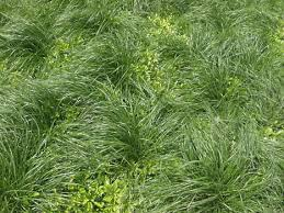 tall grass texture seamless. Unique Tall Tall Grass 27 Of Photosets And Grass Texture Seamless U