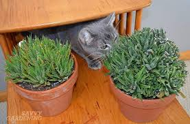 Haworthias are indoor plants that are safe for cats