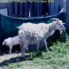 Goat Lice Lice Pictures And Information About Lice In Animals
