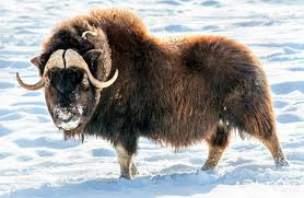 Oxen are used in some countries for pulling vehicles or carrying things. Musk Ox Description Habitat Image Diet And Interesting Facts