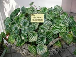 with one look at the watermelon peperomia you can tell exactly how it got its