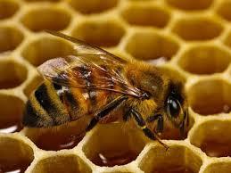 نتیجه تصویری برای زنبور