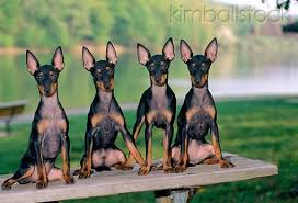 Manchester Terrier Size Chart Manchester Terrier English Toy Terrier Black And Tan
