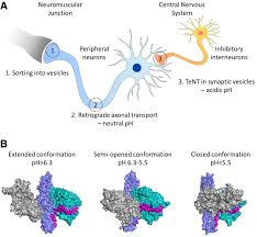 tetanus toxin the structure of the tetanus toxin reveals ph mediated domain