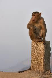 brown monkey photo – Free Animal Image ...