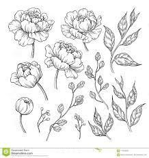 рисовать цветка и листьев пиона вектор Flor нарисованный рукой
