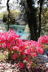 rainbow springs state park has azaleas