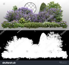 Lilacs In Landscape Design Flower Hedge Isolated On Transparent Background Stock Photo