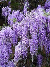 Light lavender (wisteria)[edit]