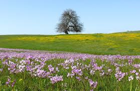 file flowering shooting stars san luis obispo county ca jpg