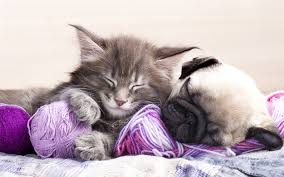 kittens and puppies sleeping. Plain Puppies Download Wallpapers 4k Pug Kitten Puppy Dogs Friendship Cats Sleeping  Cat Dog Cute Animals Pets Pug Dog Inside Kittens And Puppies Sleeping E