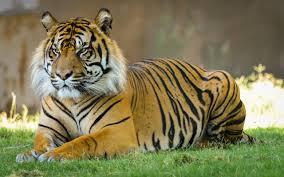 tiger wallpaper high resolution. Beautiful Resolution Tiger HD Images 08112 In Wallpaper High Resolution