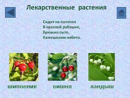Лекарственные растения Презентация  Лекарственные растения