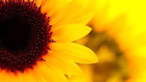 Sunflower Wallpapers • TrumpWallpapers