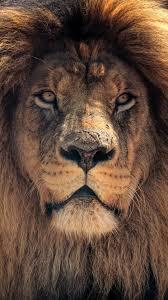 Lion Face Wallpaper For Mobile ...