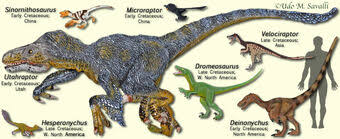 Size comparison of the 6 most well known raptor dinosaurs in the dromaeosauridae family tree. Category Raptors Dinosaur Wiki Fandom