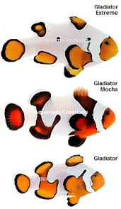 Clown Fish Identification Chart Saltwater Clownfish Clownfish For Sale Designer Clownfish