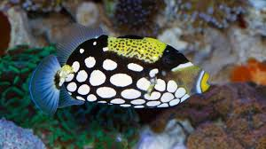 clown triggerfish. Perfect Triggerfish Buy Clown Triggerfish Online  Saltwater Aquarium Fish And Coral Vivid  Aquariums Intended I