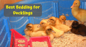 best bedding for ducklings choose the