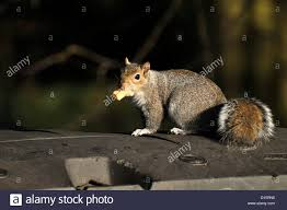 checking bin grey squirrel uk with piece of cheese from large commercial type