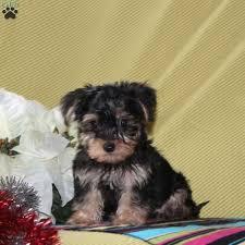 wyatt yorkie poo puppy
