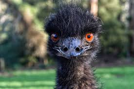 effects of emu oil on hair growth and