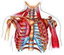fettkul på magen navn på muskler i kroppen