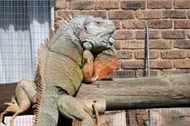 iguana outdoor cage