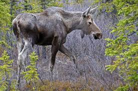photo essay denali national park travel photography and other moose