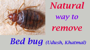 Natural way to remove bed bugs : Get rid of Udush - YouTube