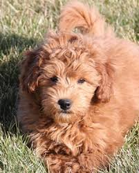 3 Types Of Mini Goldendoodles Colors Sizes And Coats